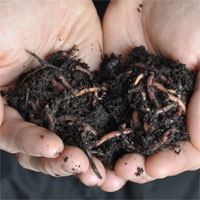 Worms: Red wigglers making great soil